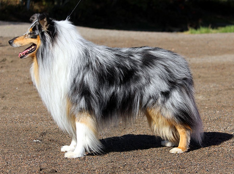 Pitkäkarvainen collie, Herohills Cool Blue